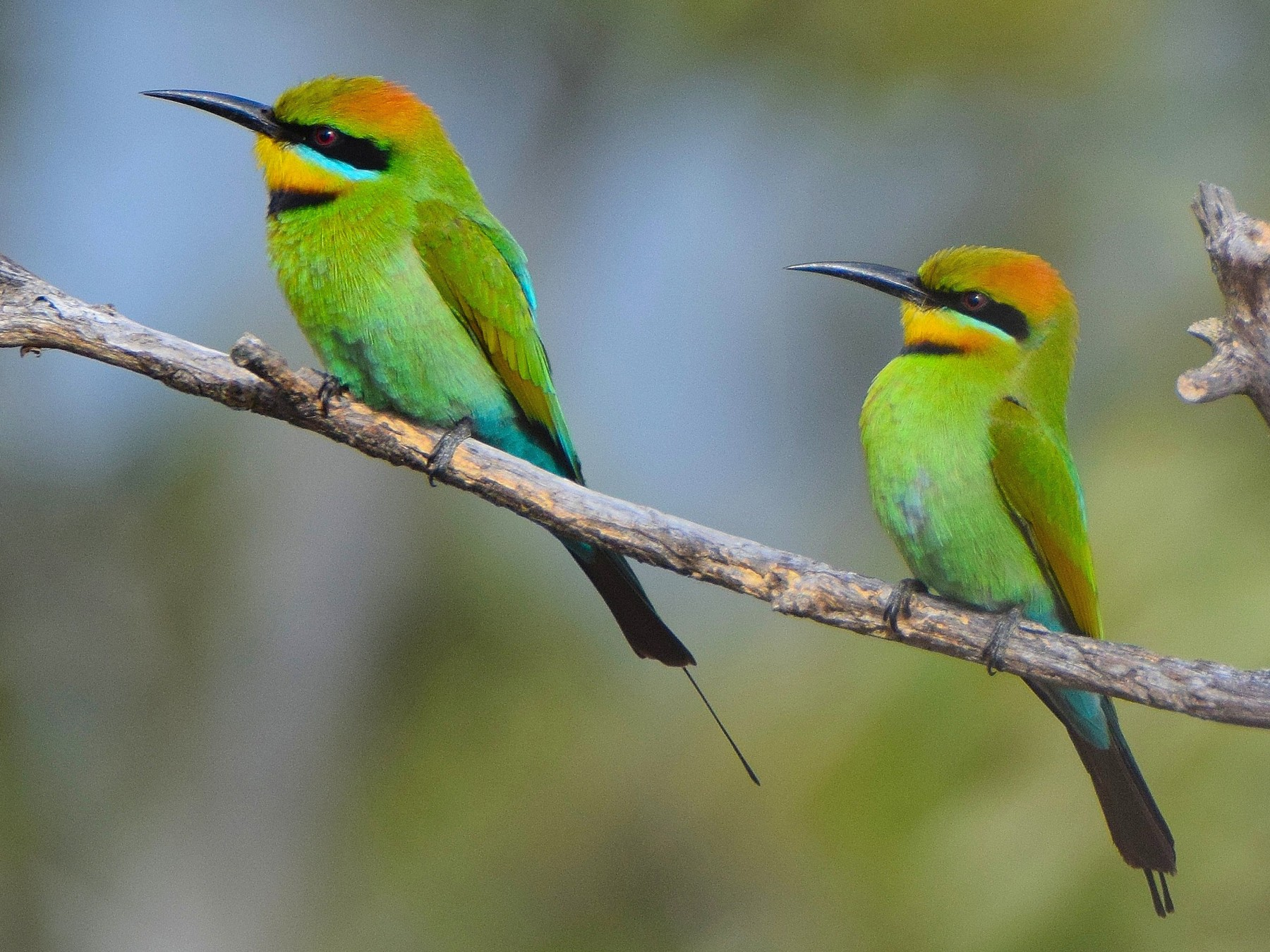 Rainbow Bee-eater - Chris Wills