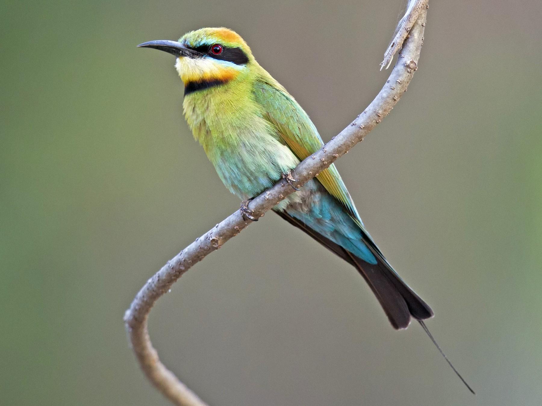 Rainbow Bee-eater - Mat Gilfedder