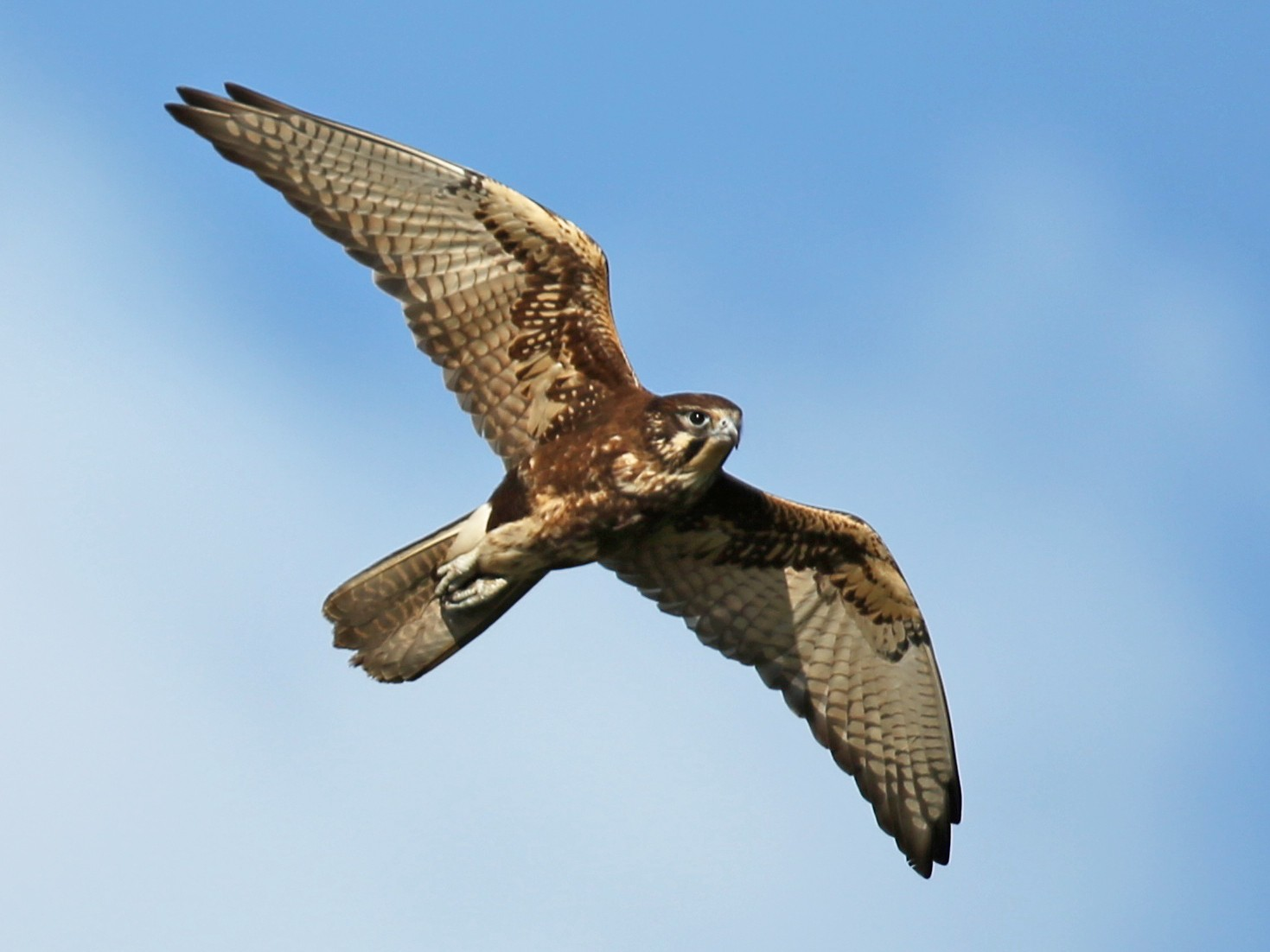 Brown Falcon - David  Tytherleigh