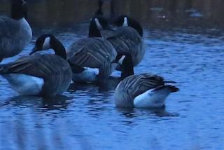 Cackling Goose, ML121704881