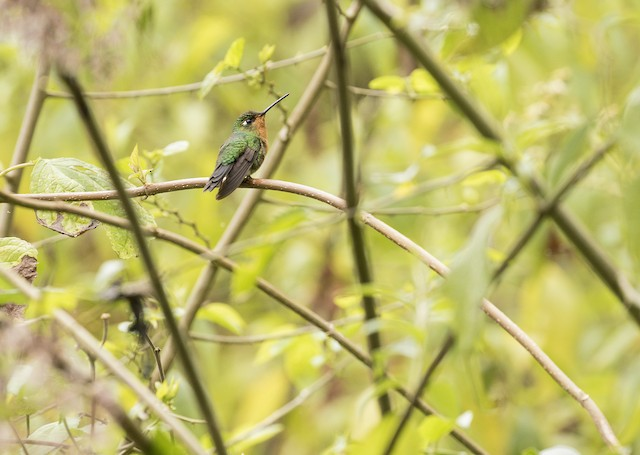 Blue-capped Puffleg