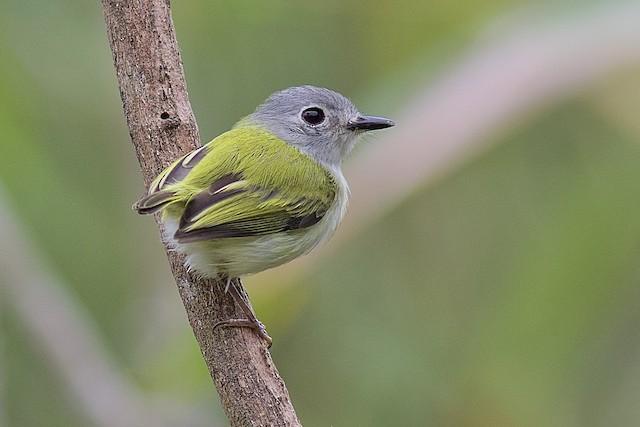 Short-tailed Pygmy-Tyrant