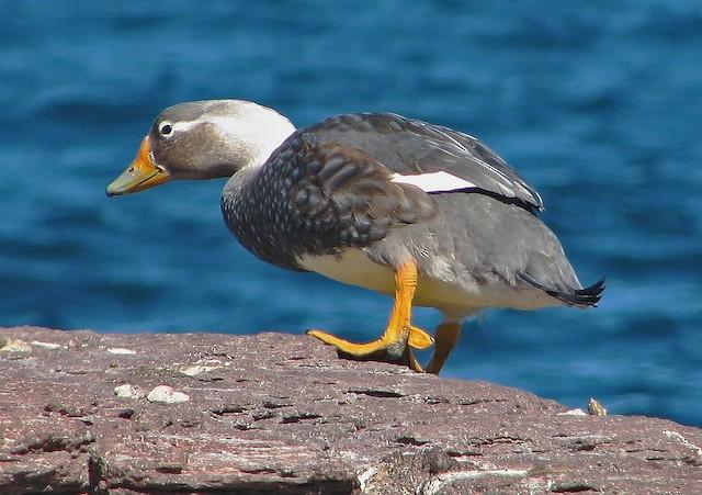 White-headed Steamer-Duck