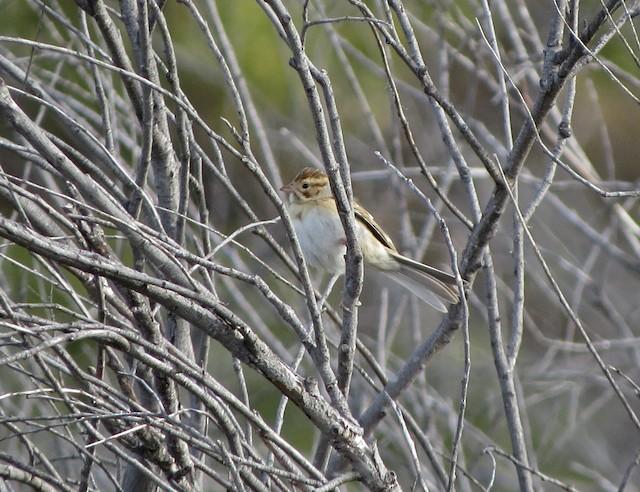 Clay-colored Sparrow