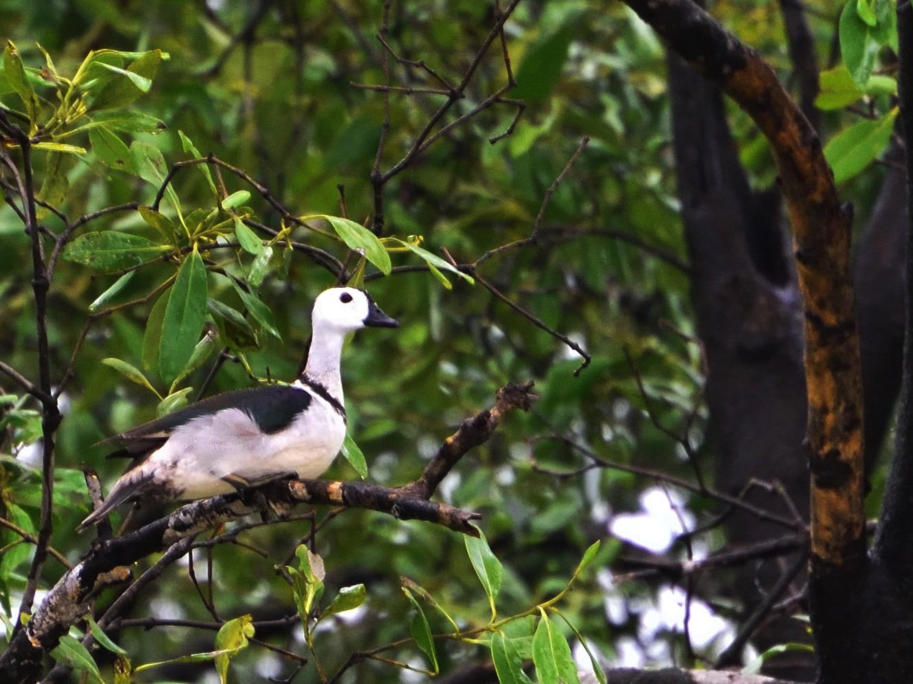 Cotton Pygmy-Goose - samarendra Chowdhury