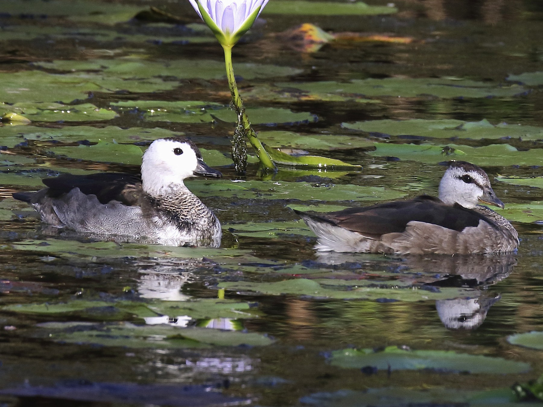 Cotton Pygmy-Goose - Chris Barnes
