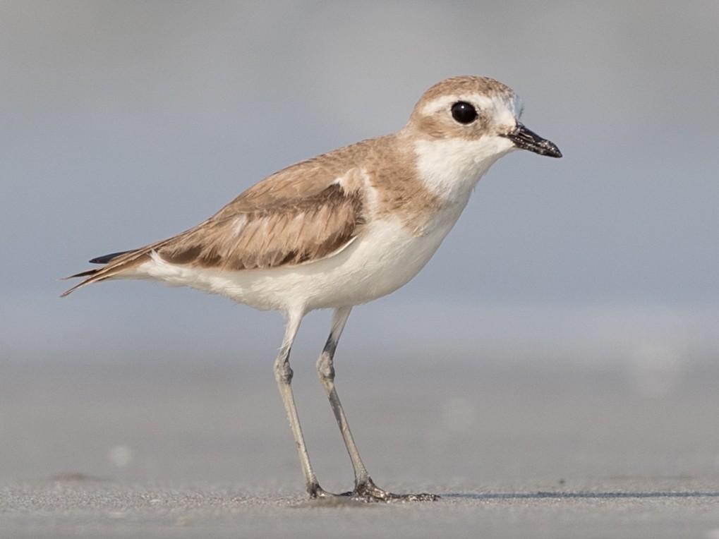 Lesser Sand-Plover - Ian Davies