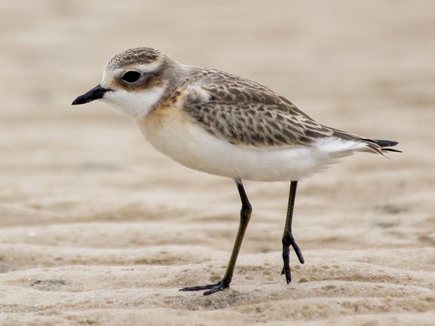 Lesser Sand-Plover - PRASHANTHA KRISHNA M C