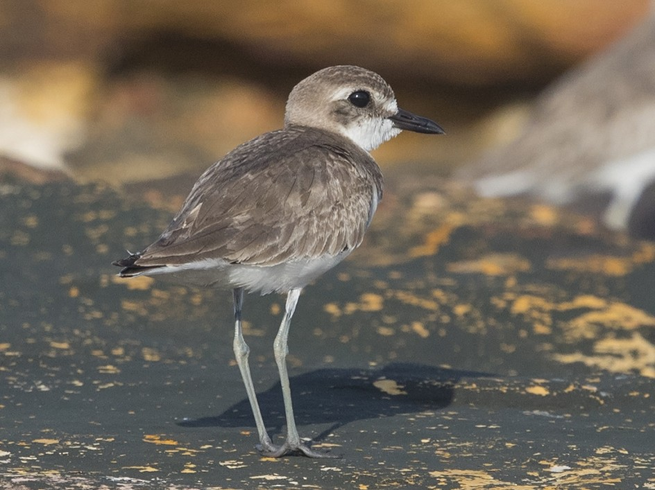Greater Sand-Plover - Niall D Perrins