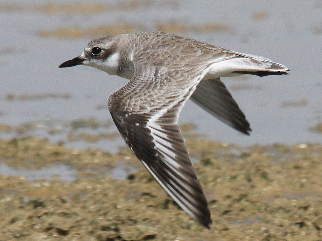 Greater Sand-Plover - Christoph Moning