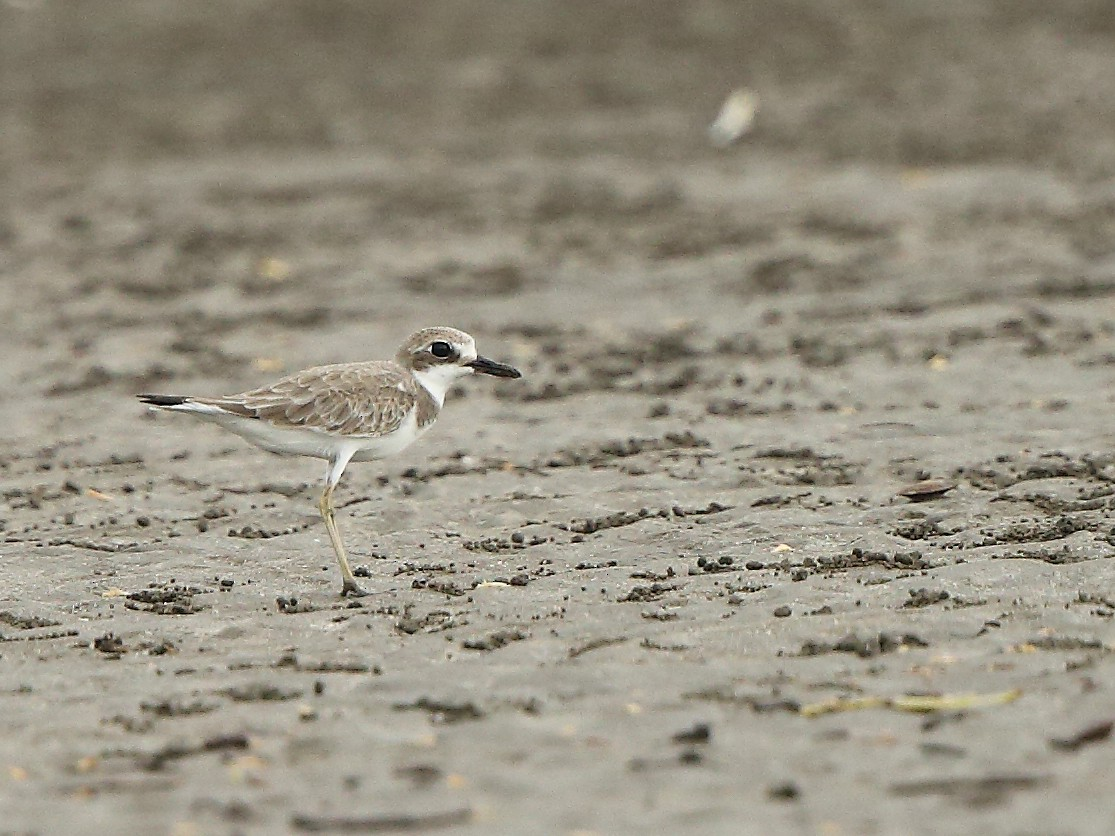 Greater Sand-Plover - Albin Jacob