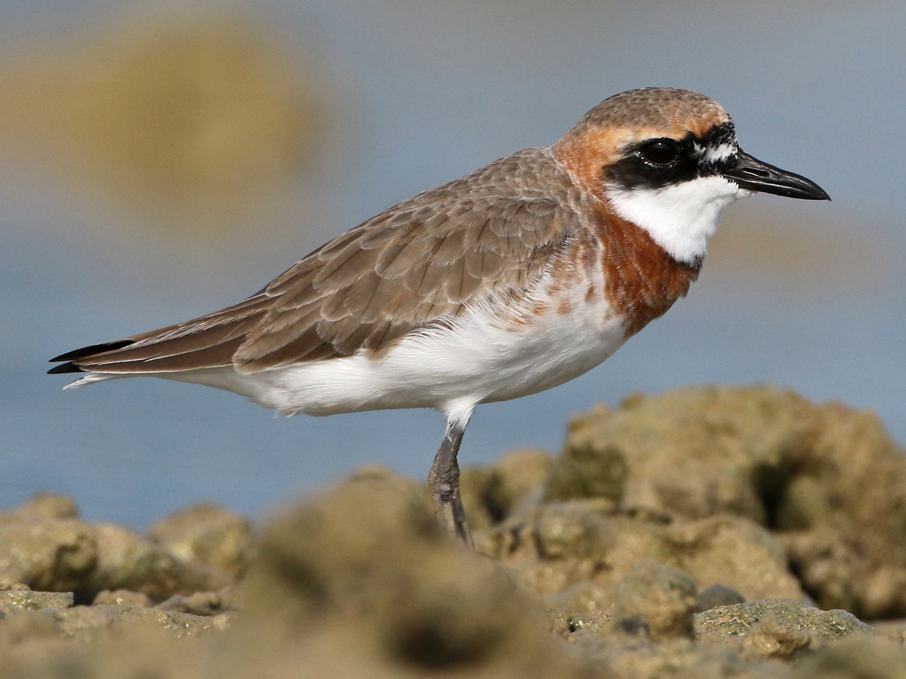 Greater Sand-Plover - Luke Seitz