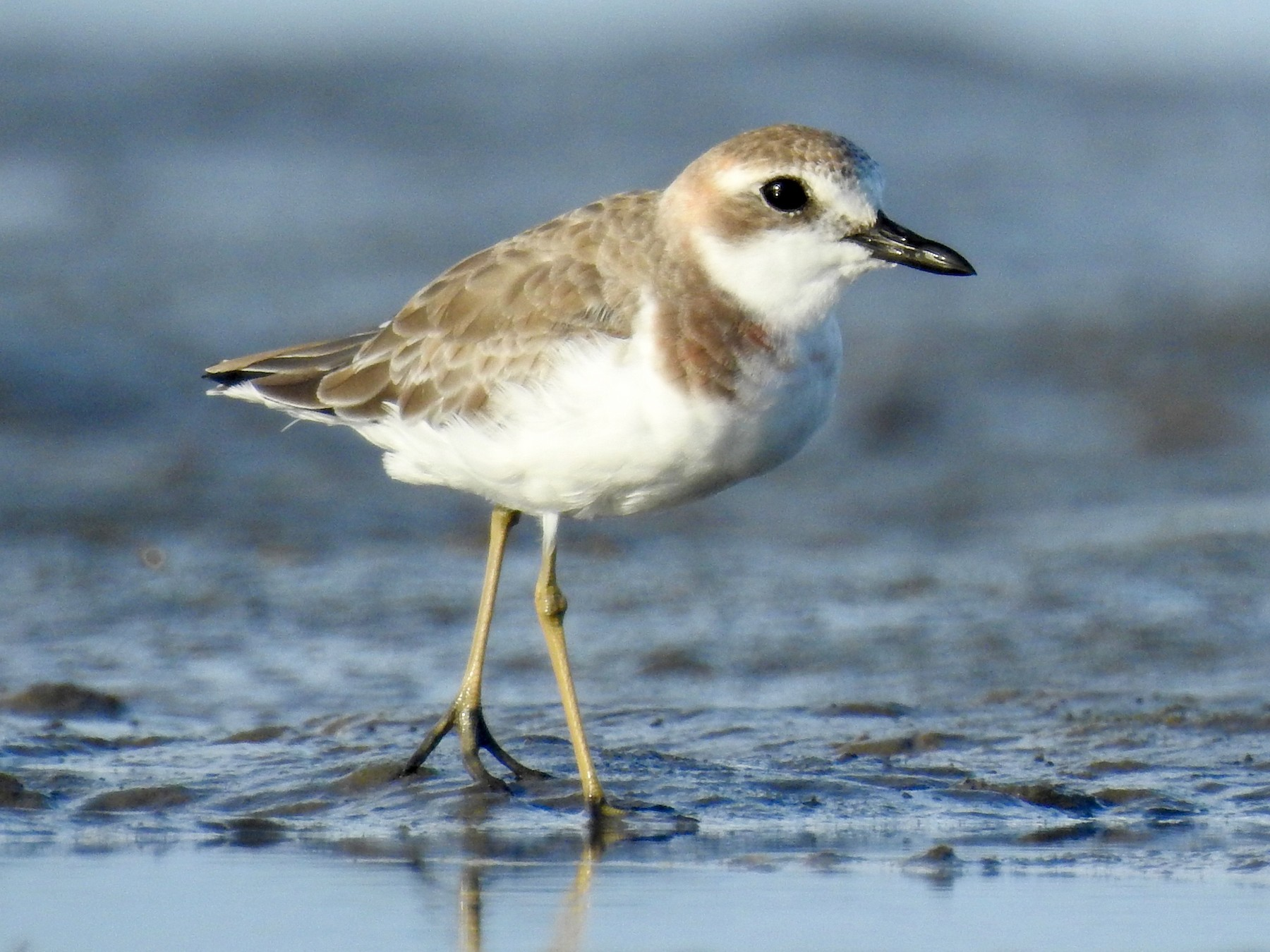 Greater Sand-Plover - Michael Daley