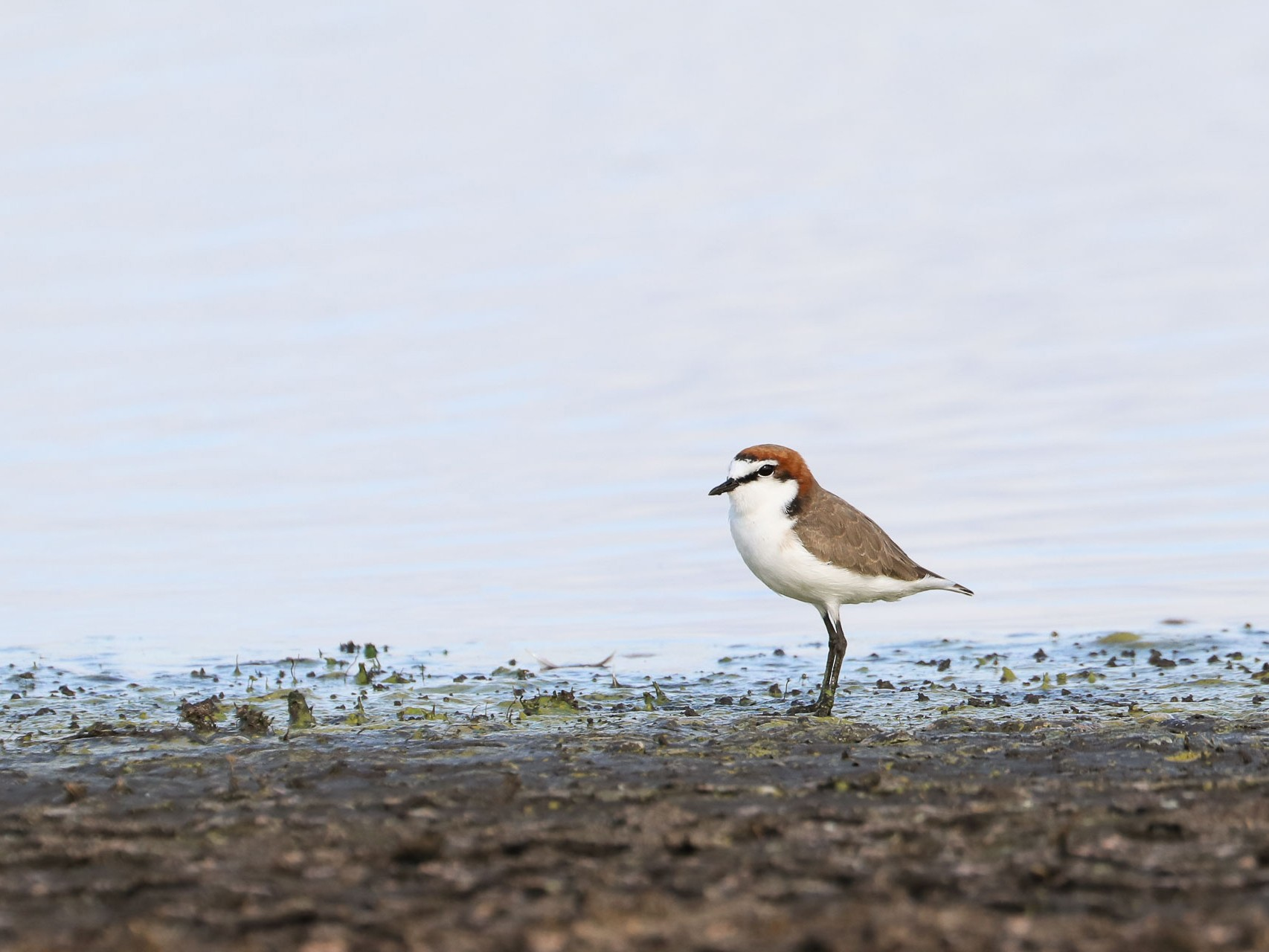 Red-capped Plover - Ged Tranter