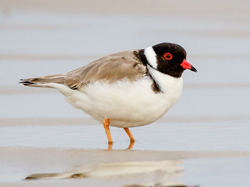 Hooded Plover - Luke Shelley
