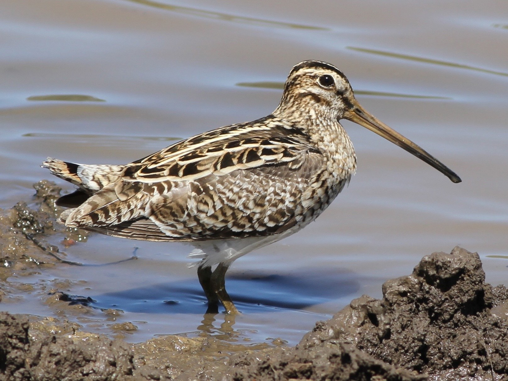 Latham's Snipe - Chris Wiley