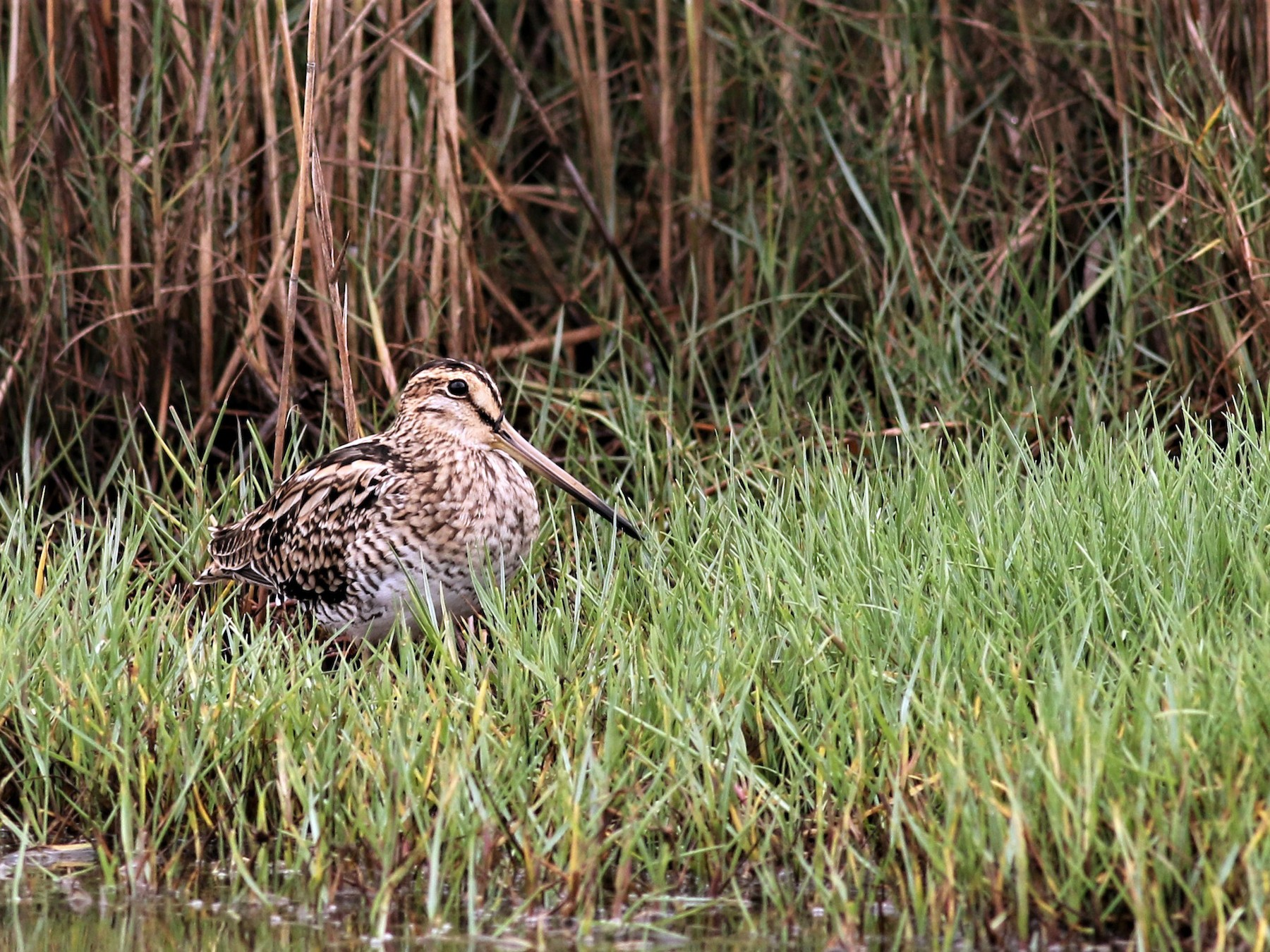 Latham's Snipe - Hans Wohlmuth