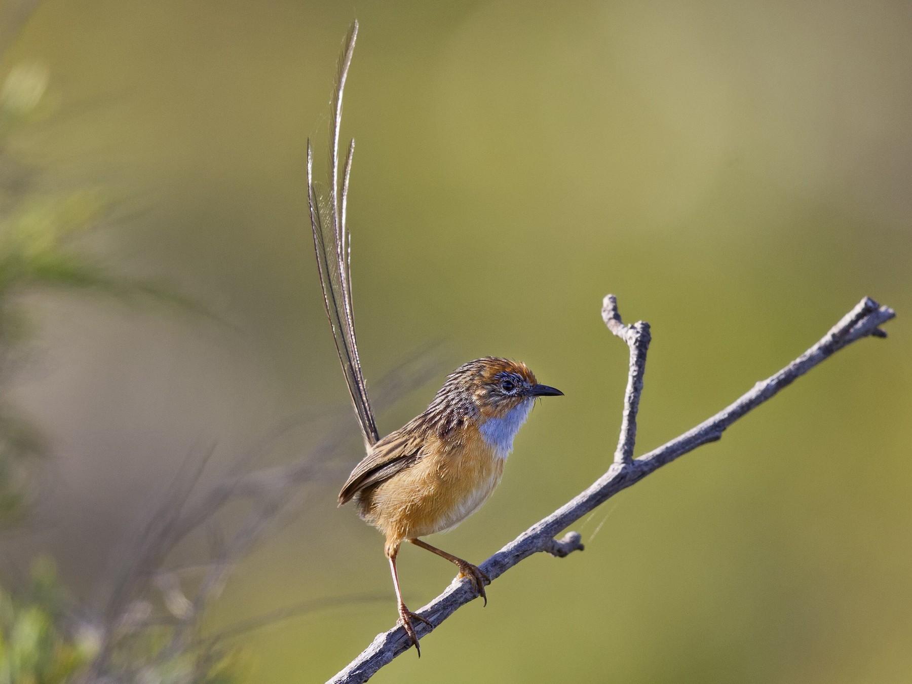 Southern Emuwren - Mat Gilfedder