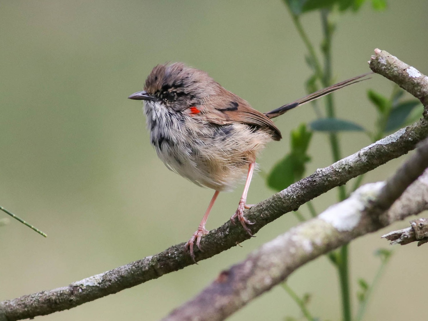 Red-backed Fairywren - Ged Tranter