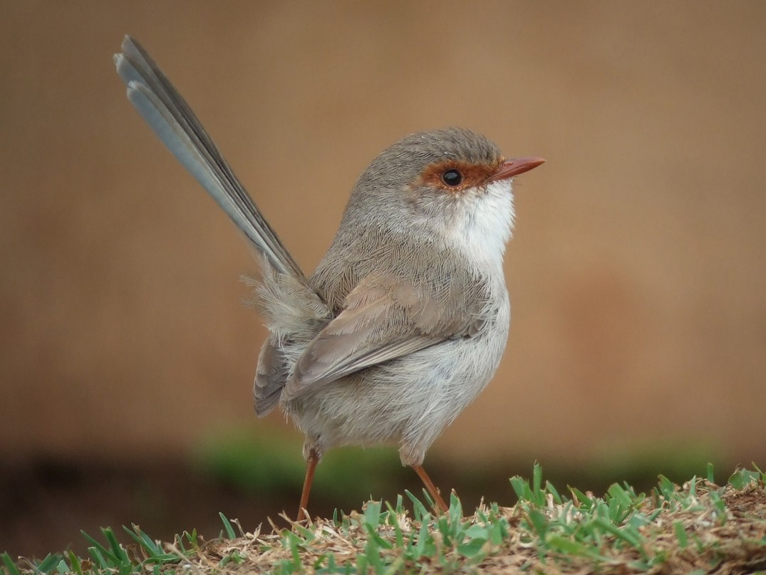 Superb Fairywren - Mat Gilfedder