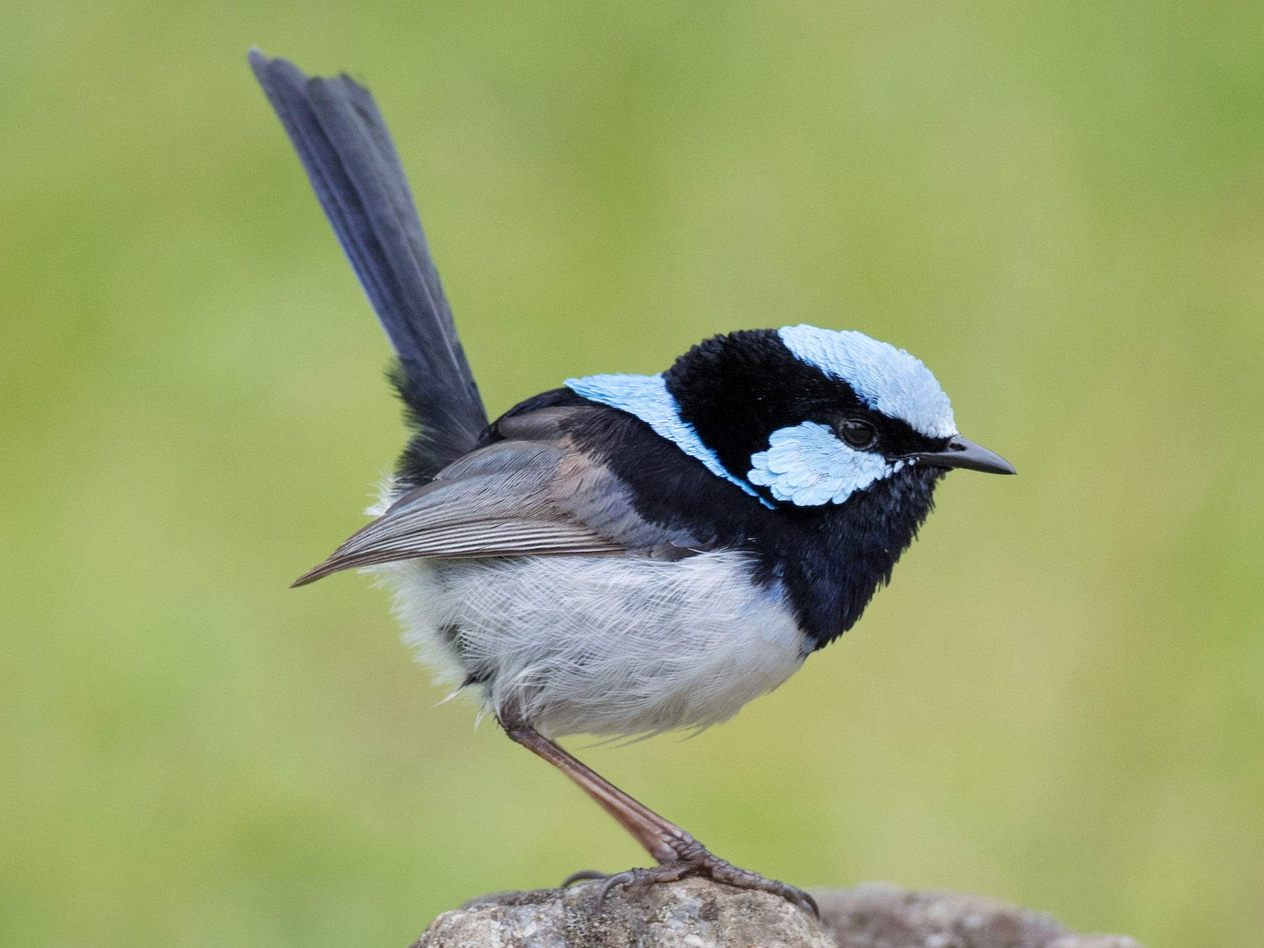 Superb Fairywren - Ian Davies