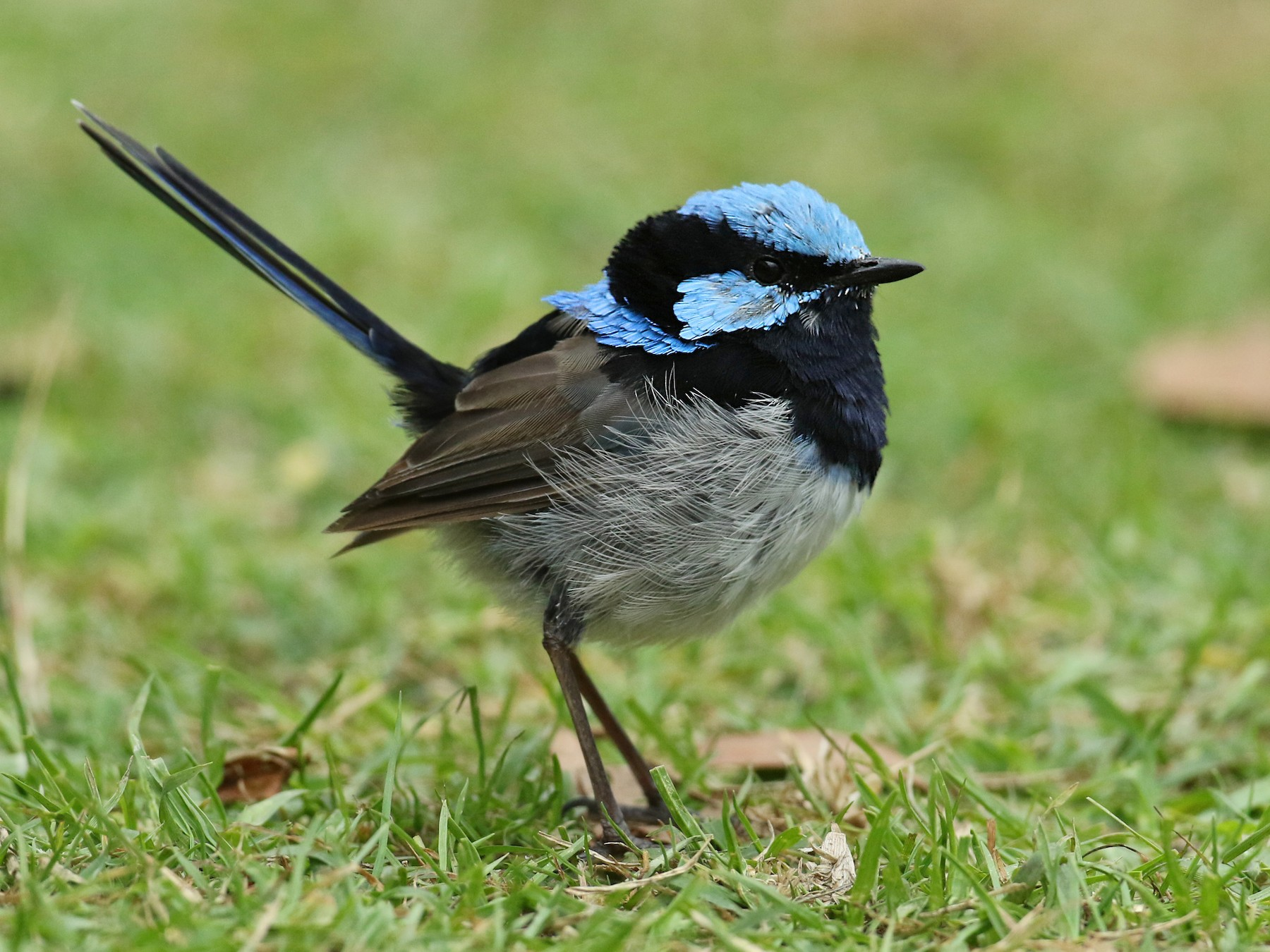 Superb Fairywren - Luke Seitz