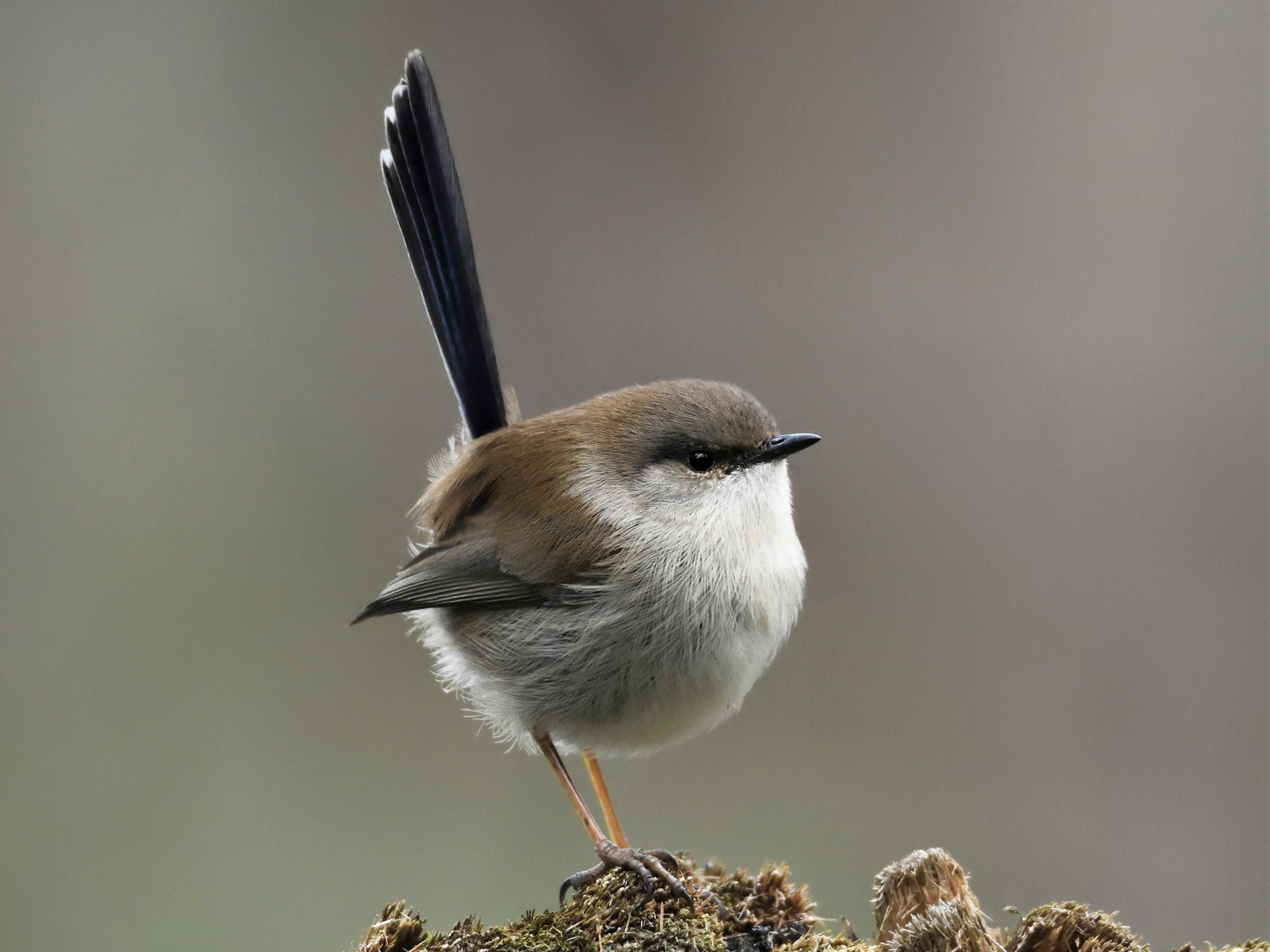 Superb Fairywren - Ken Crawley