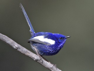 - White-winged Fairywren