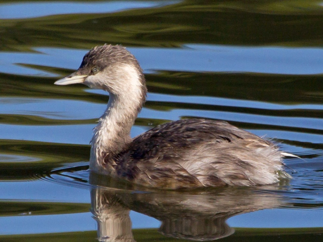 Hoary-headed Grebe - Ashley Bradford