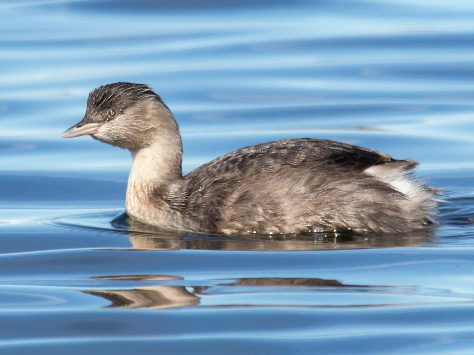 Hoary-headed Grebe - Andrew Allen