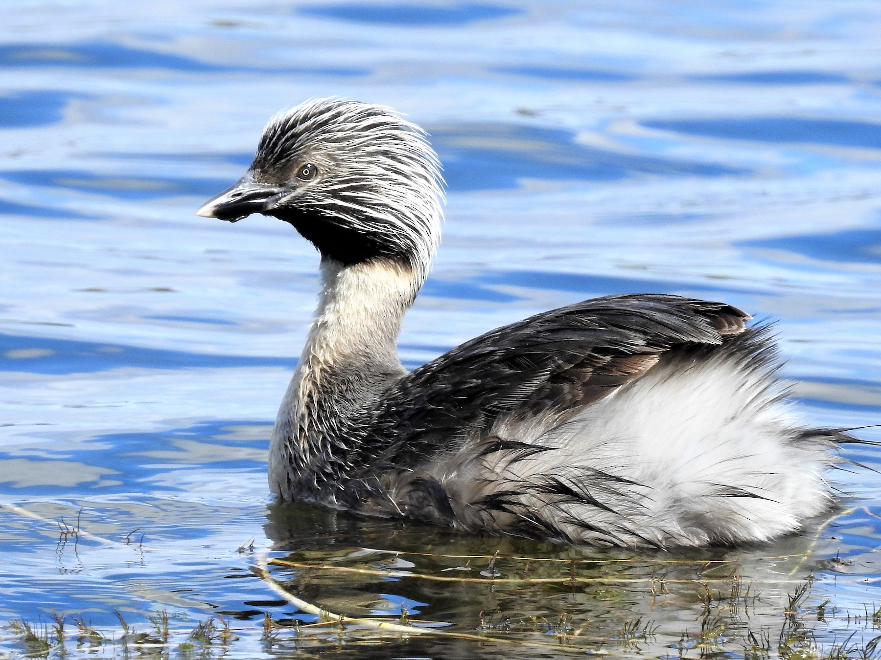 Hoary-headed Grebe - Jeffrey Crawley