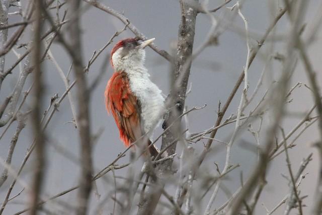 Scarlet-backed Woodpecker