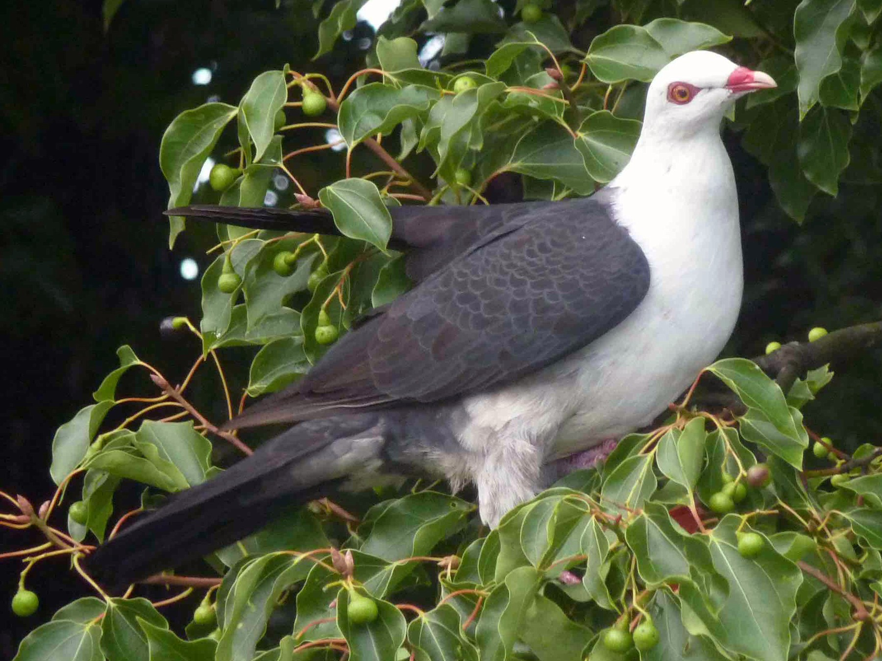 White-headed Pigeon - David Vickers