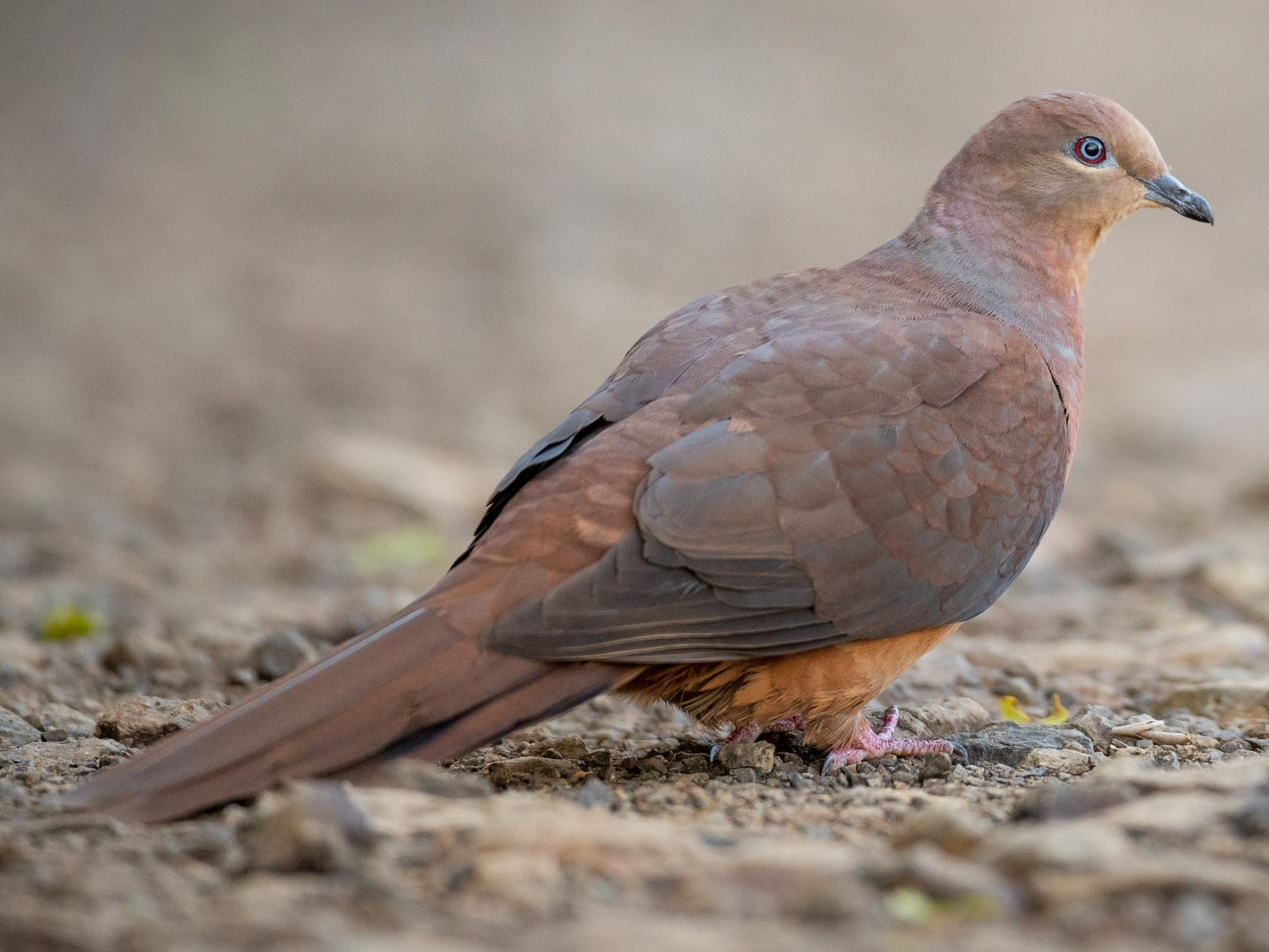 Brown Cuckoo-Dove - Ian Davies