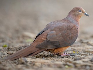 - Brown Cuckoo-Dove