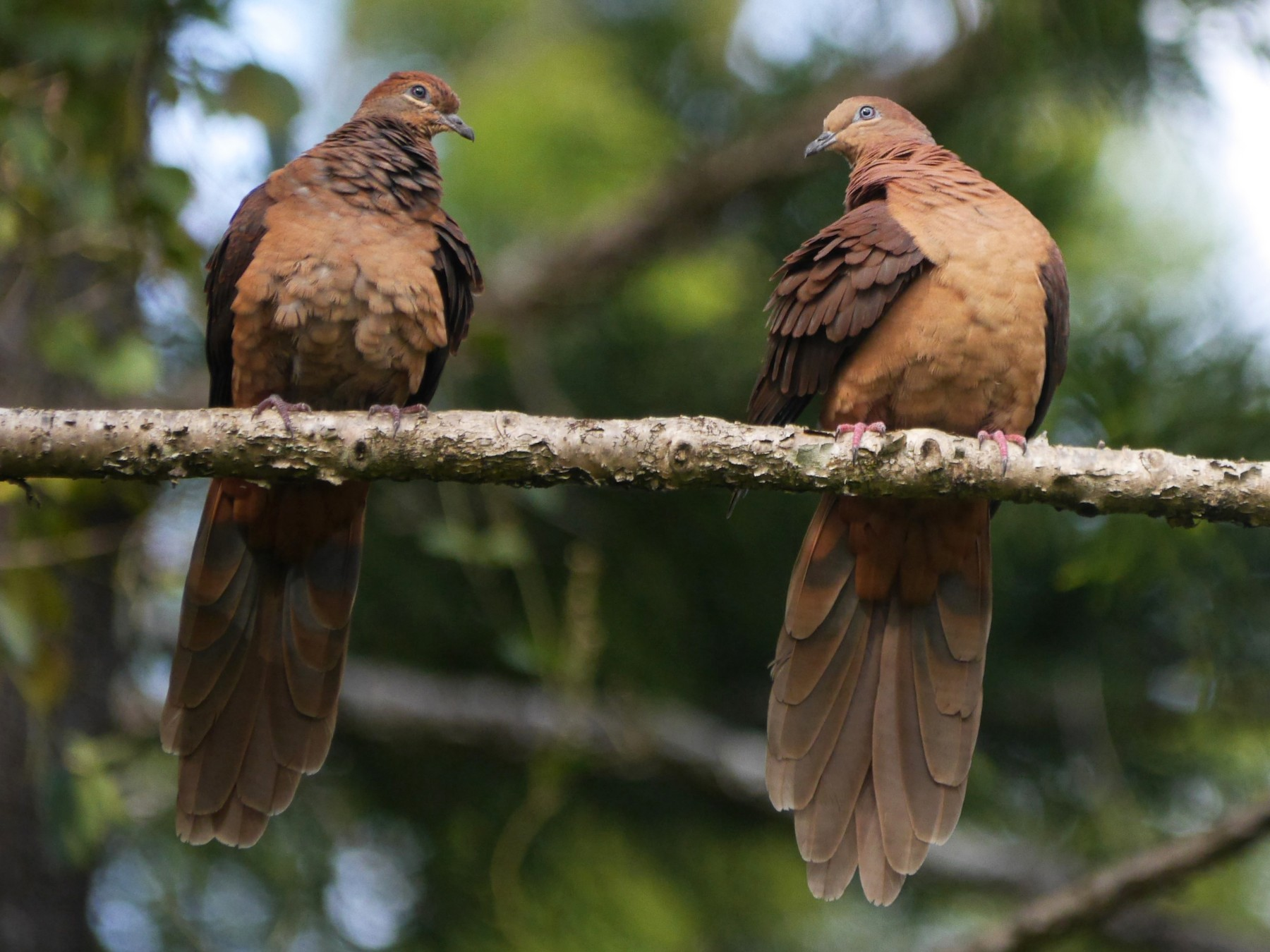 Brown Cuckoo-Dove - Frank Coman