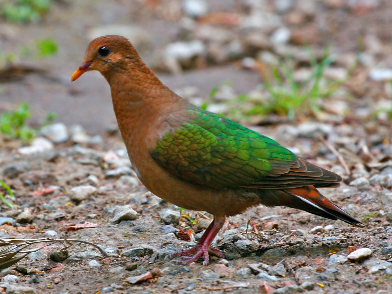 Pacific Emerald Dove - Jesse Gibson