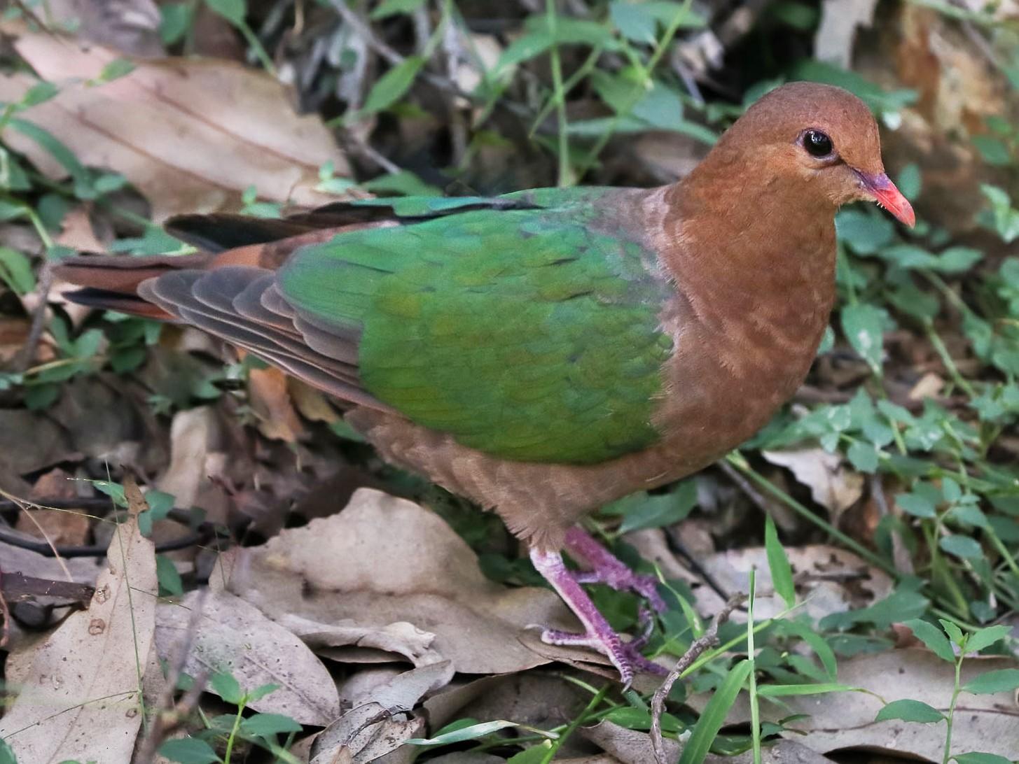 Pacific Emerald Dove - Ged Tranter
