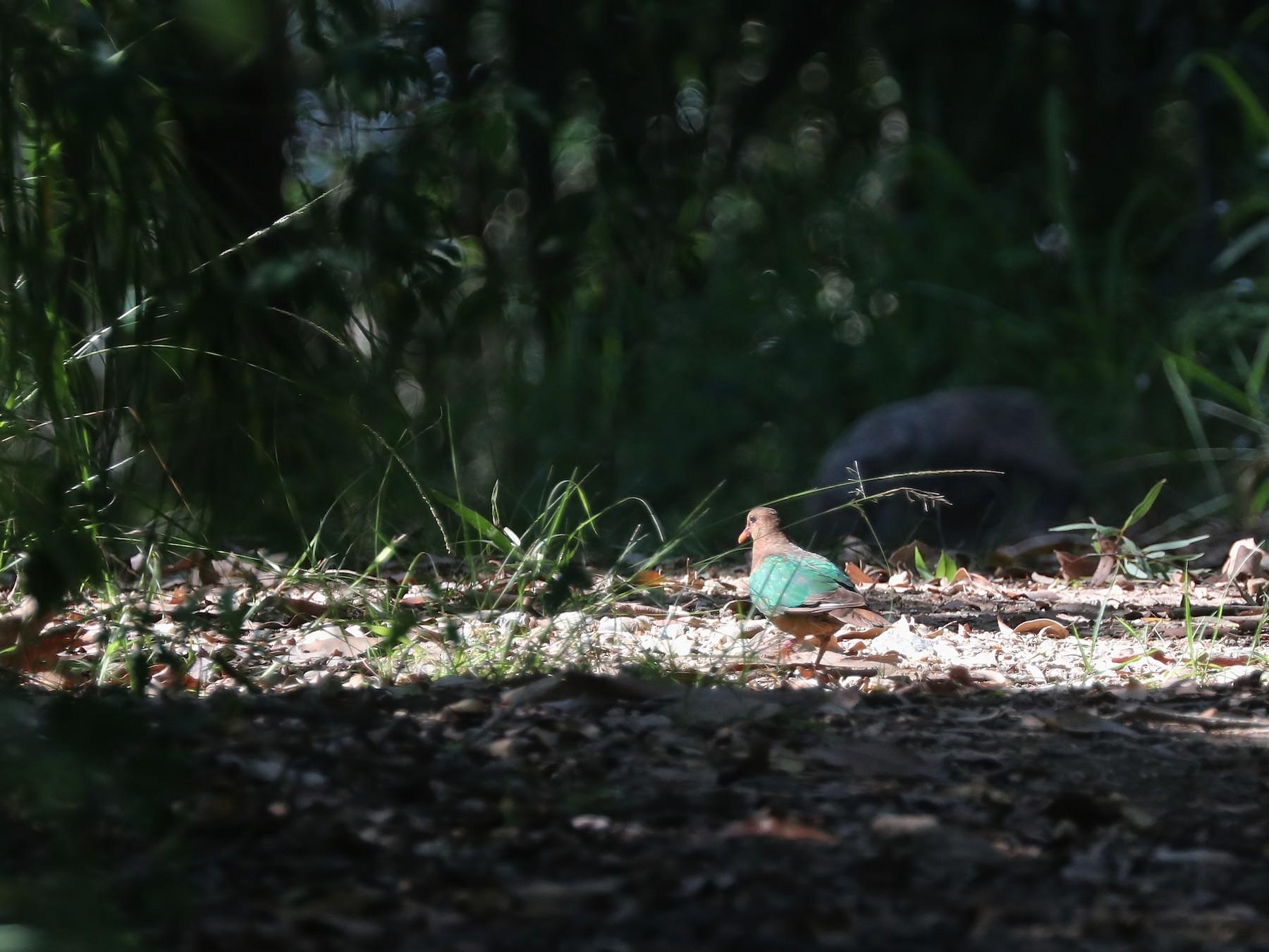 Pacific Emerald Dove - Rick Franks