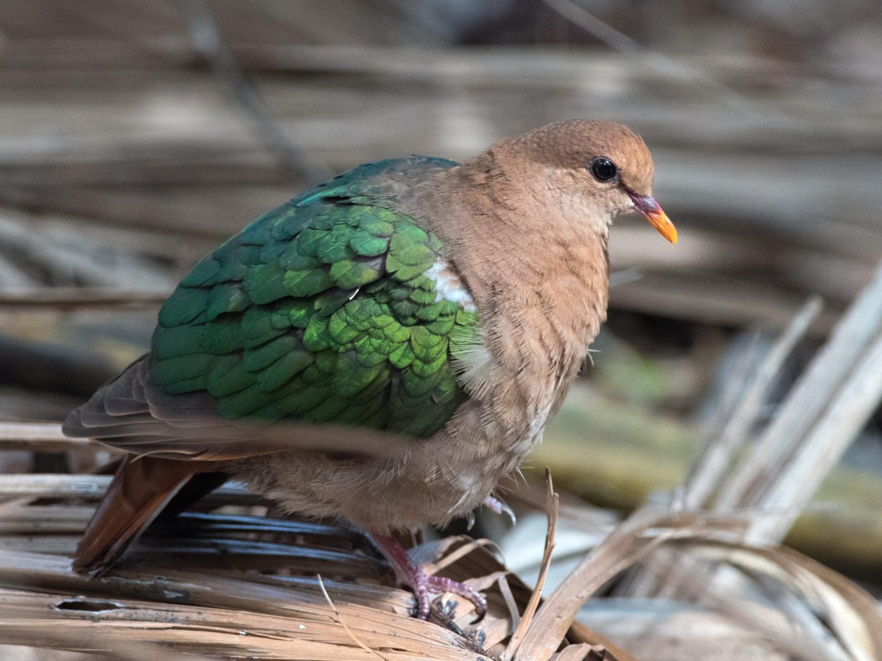 Pacific Emerald Dove - Nige Hartley
