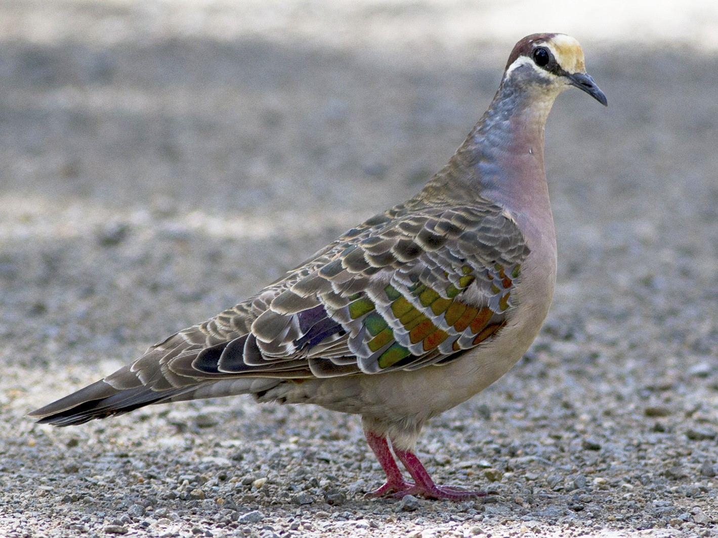 Common Bronzewing - Stephen Murray
