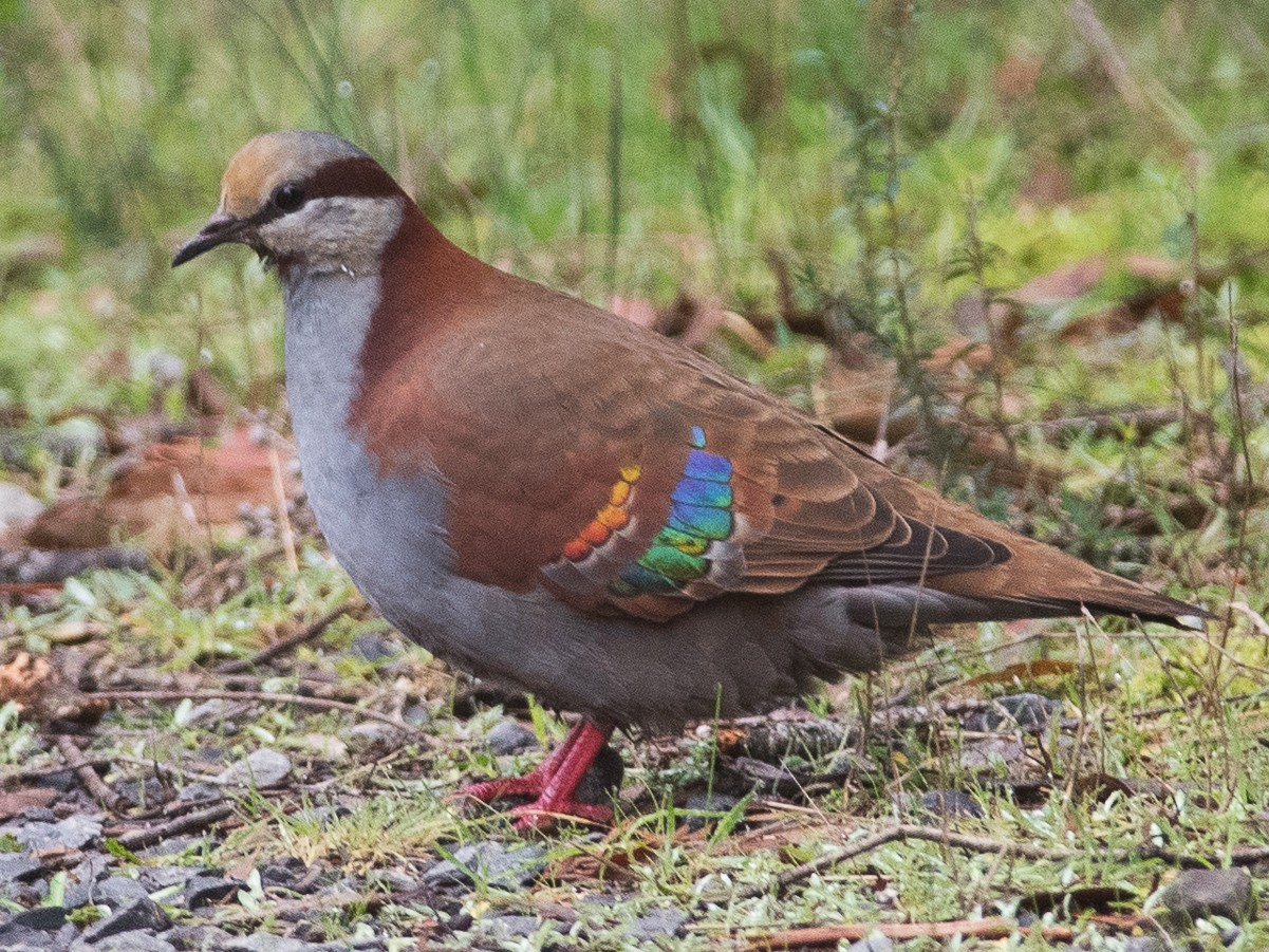 Brush Bronzewing - John Daniels