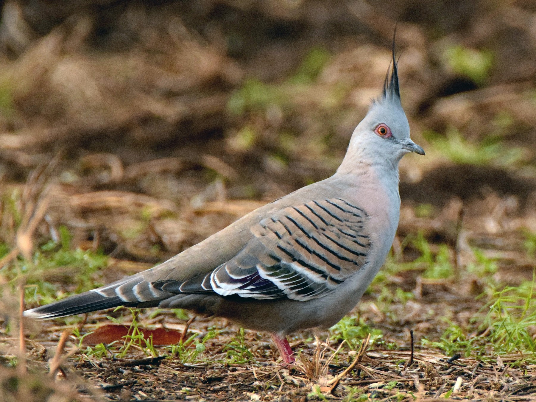 Crested Pigeon - Chris Wills