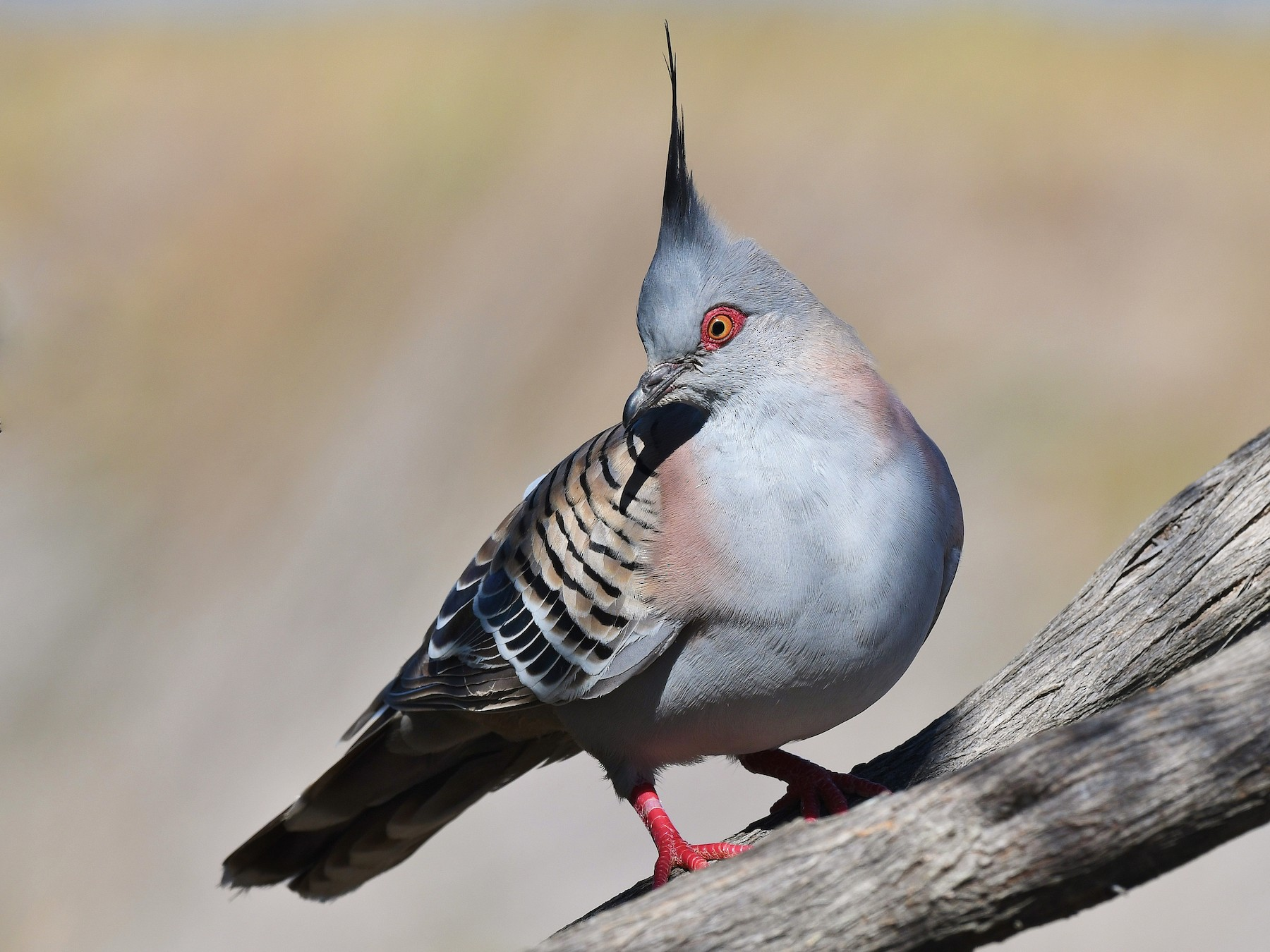 Crested Pigeon - Terence Alexander