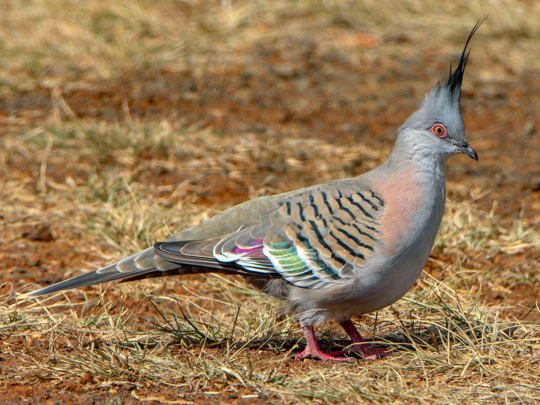Crested Pigeon - Sandra Gallienne