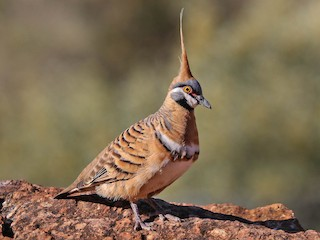 - Spinifex Pigeon