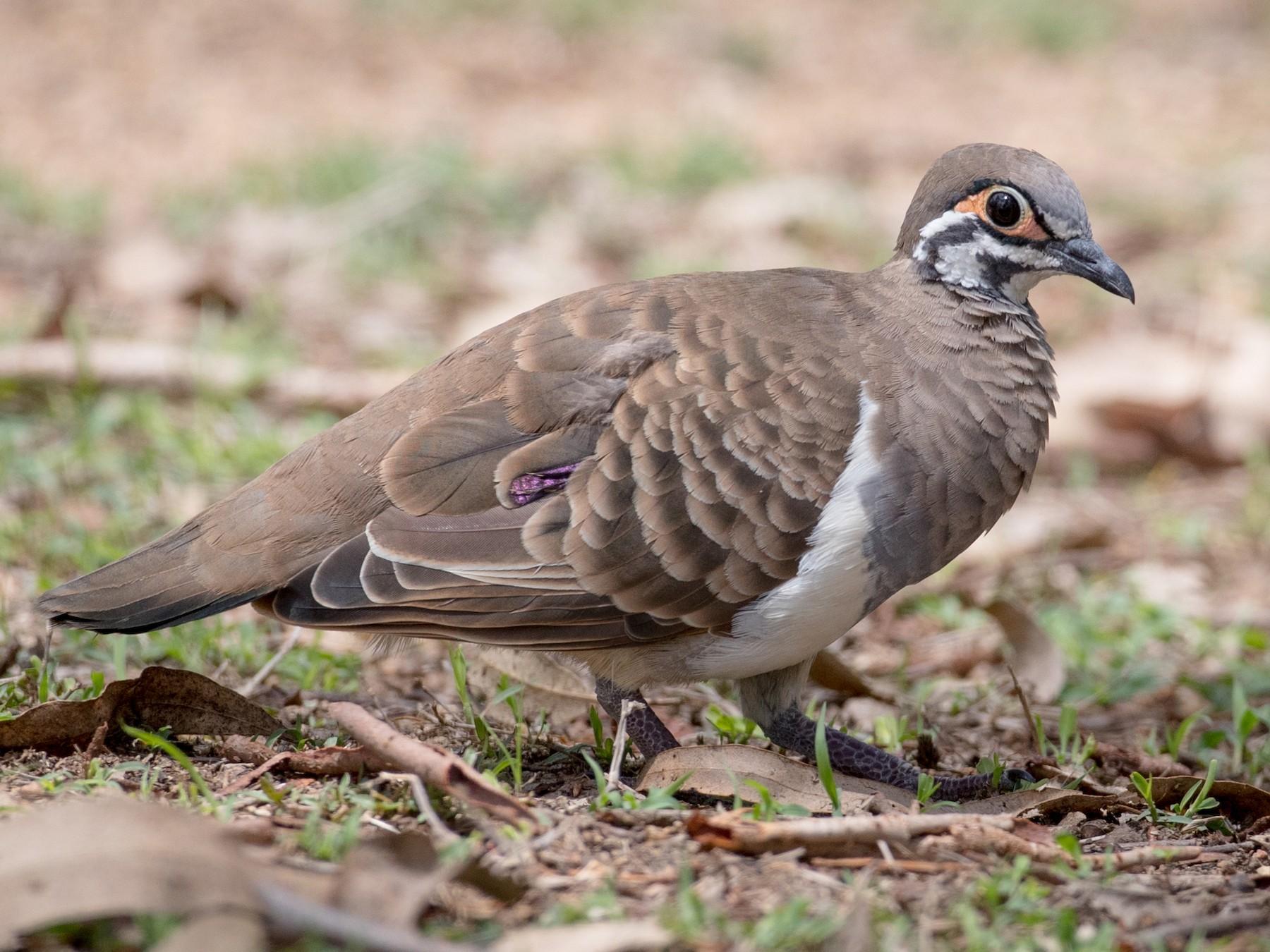 Squatter Pigeon - Ian Davies