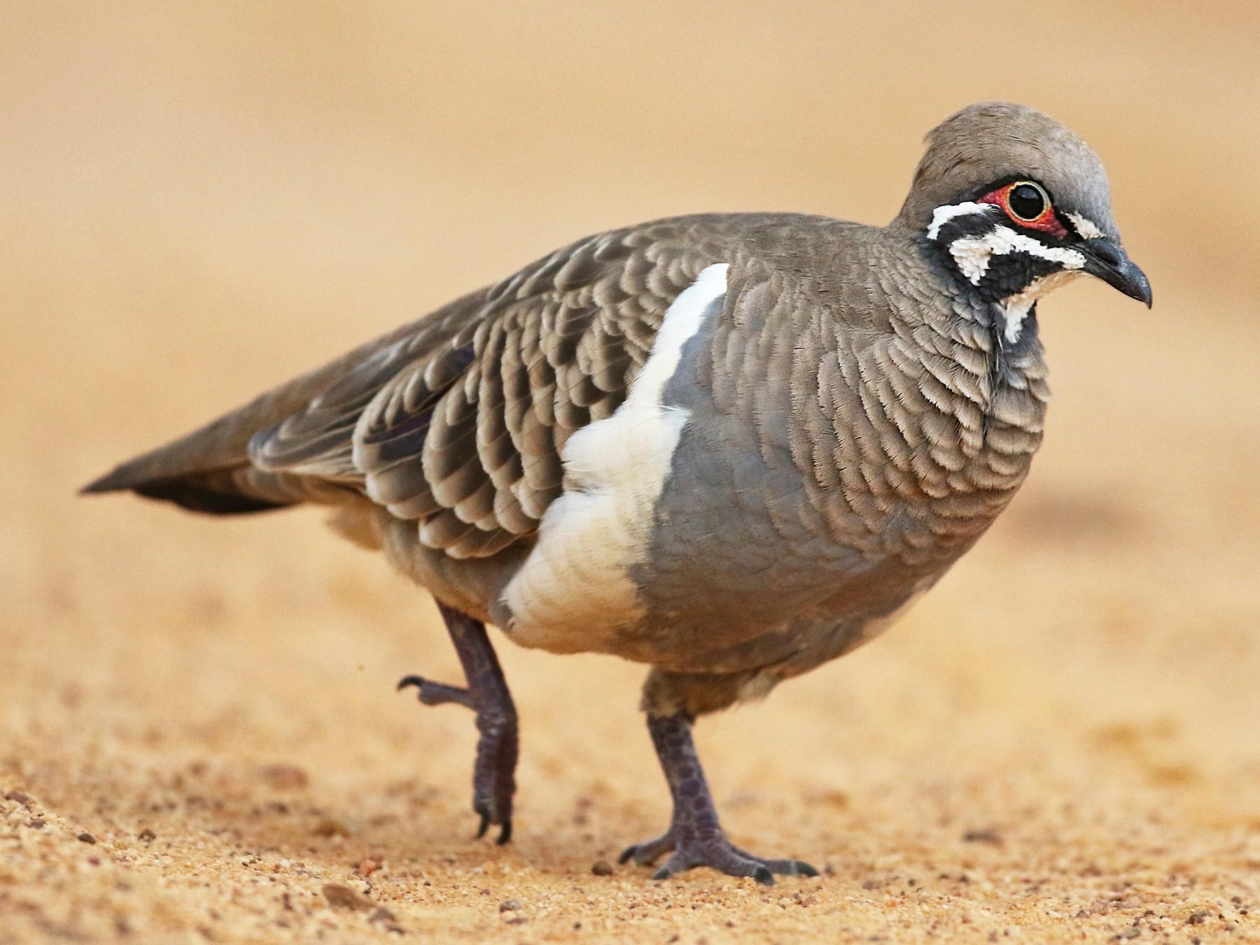 Squatter Pigeon - Luke Seitz