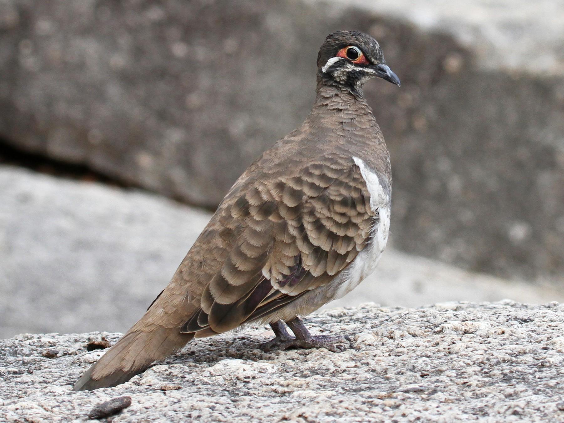 Squatter Pigeon - Margot Oorebeek