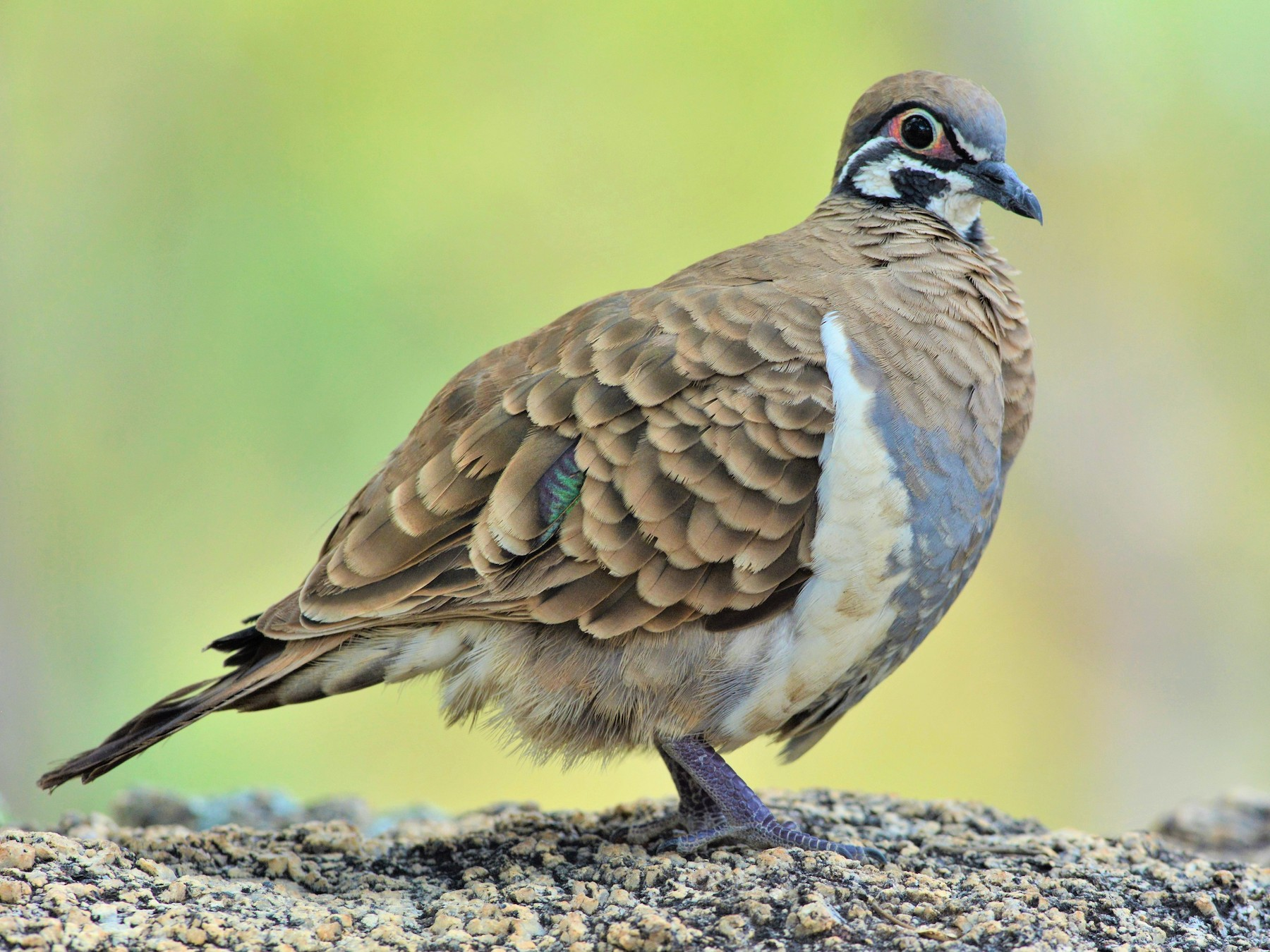 Squatter Pigeon - David Hollie